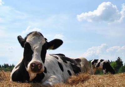 Dairy farm animals
