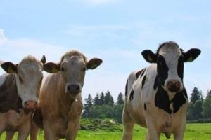 Stray off the beaten path and enjoy the charm and delights that await you on your visit to a mid-size dairy farm.