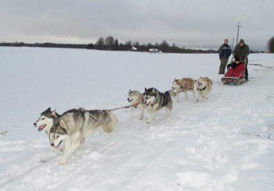 Husky Farm Experience & Dog Sledding