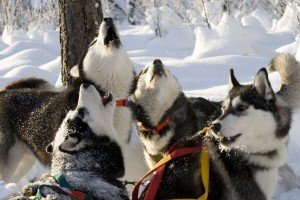Join in the fun of meeting friendly sled dogs and experiencing winter fun on a dog sled ride at a local Siberian Husky Farm.
